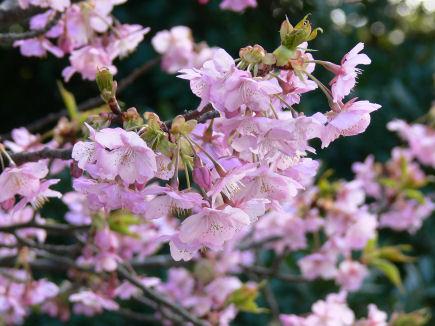 河津桜満開0424ta