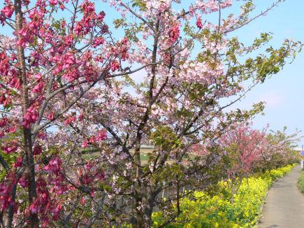 三浦桜祭り0303ta