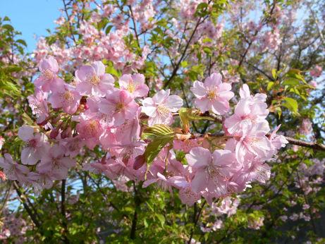 三浦桜祭り0304tb
