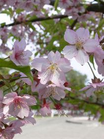 三浦桜祭り0303c