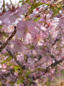 三浦桜祭り0303e