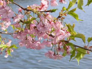 三浦桜祭り0303m
