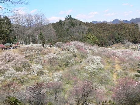 梅の公園0309tx