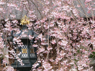 しだれ桜、本覚寺0324a
