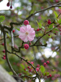 海棠の花0324a