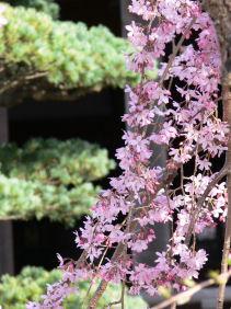 枝垂れ桜0329a
