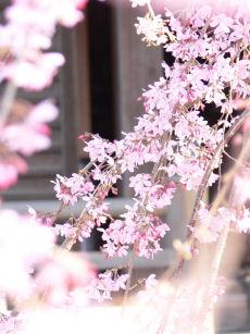 枝垂桜0329b
