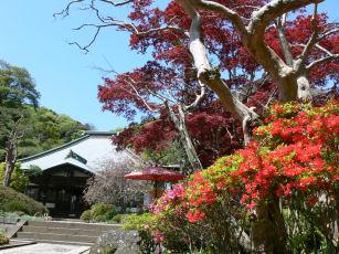 海蔵寺ツツジ0414a