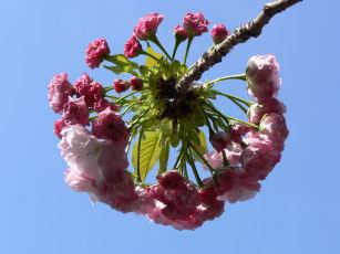 八重桜咲く0414a