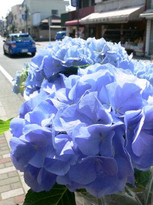 紫陽花通り0504ts