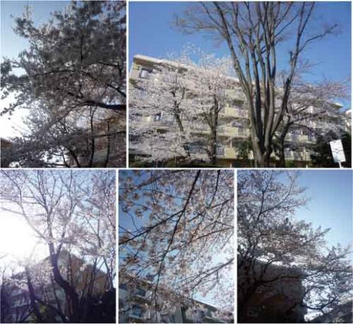 sakura_convert_20120421142157.jpg