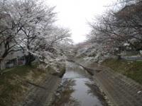 sakura_convert_20130403111447.jpeg