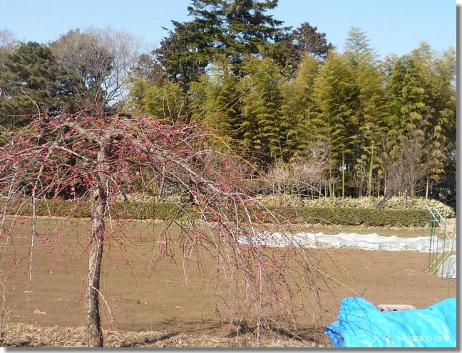 農園の梅の花