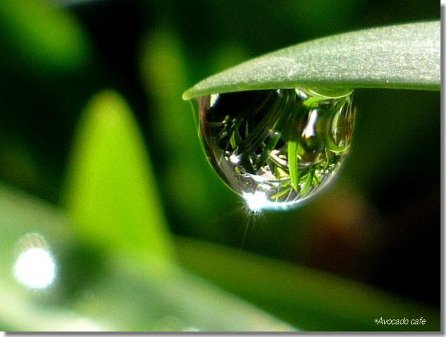 アガパンサスの滴