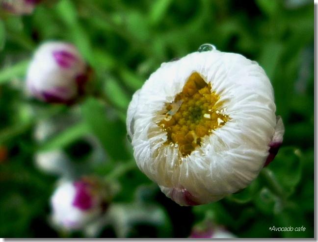 花カンザシ