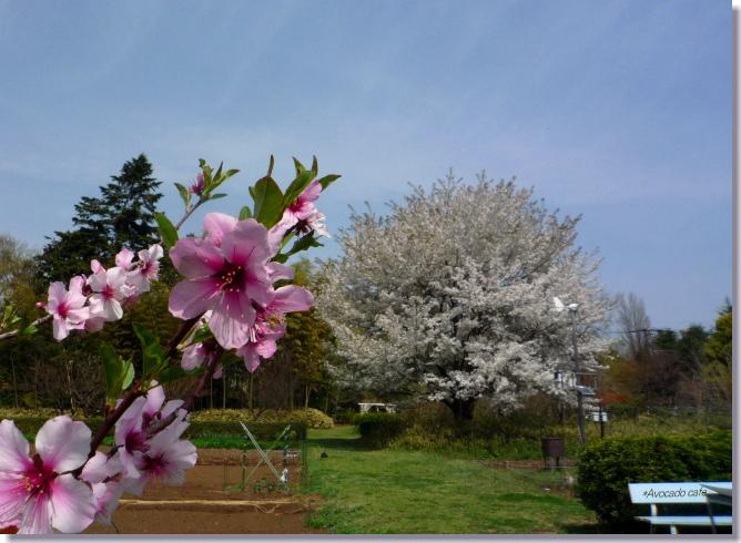 花桃と大島桜