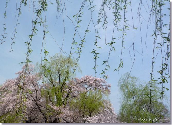 枝垂れ柳と桜