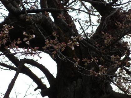 20130320_01_赤岩橋の桜_131