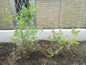 20120625-blueberry.jpg