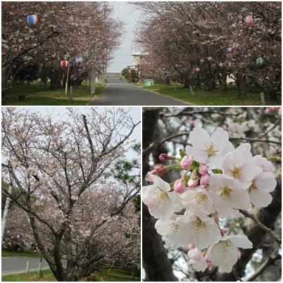 0329-桜
