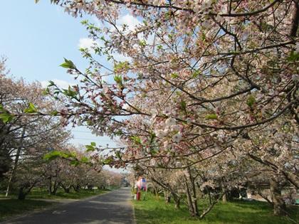 0411-桜