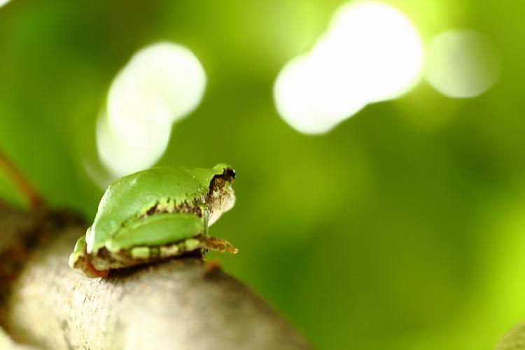 日本雨蛙07