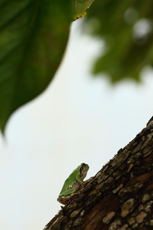 日本雨蛙05