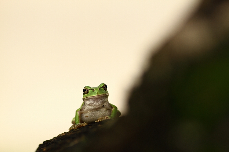 日本雨蛙04