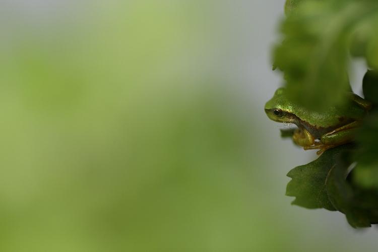 日本雨蛙03