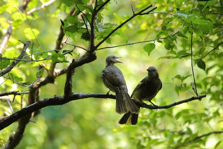 幼鳥が育つ13