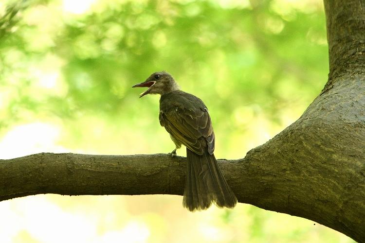 幼鳥が育つ12