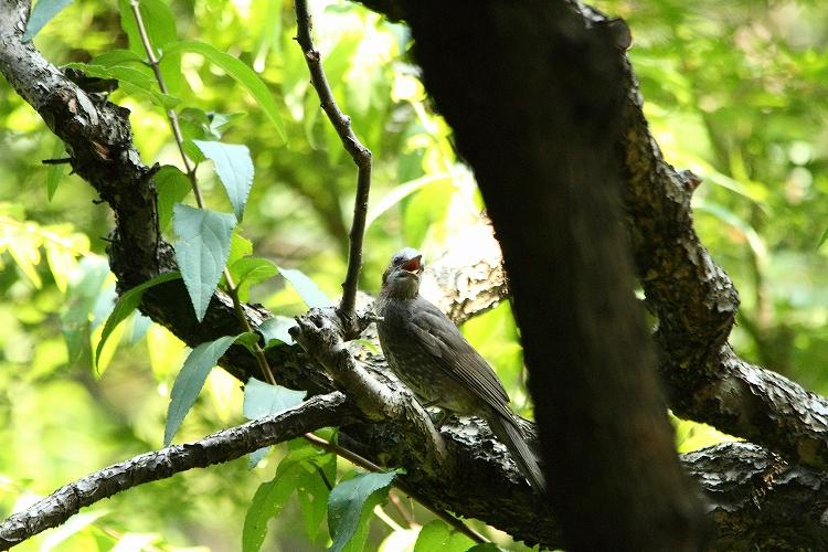 幼鳥が育つ11