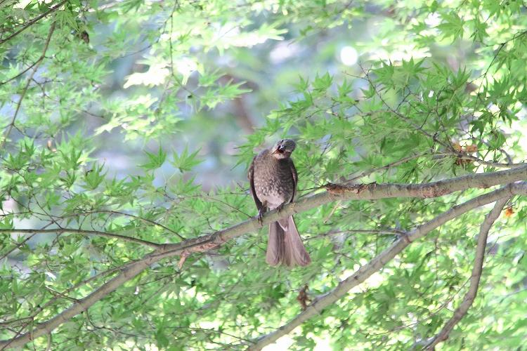 幼鳥が育つ07