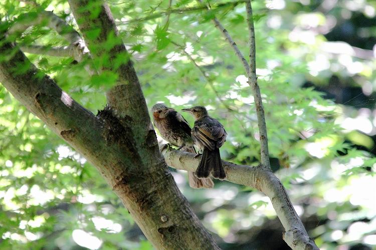 幼鳥が育つ09