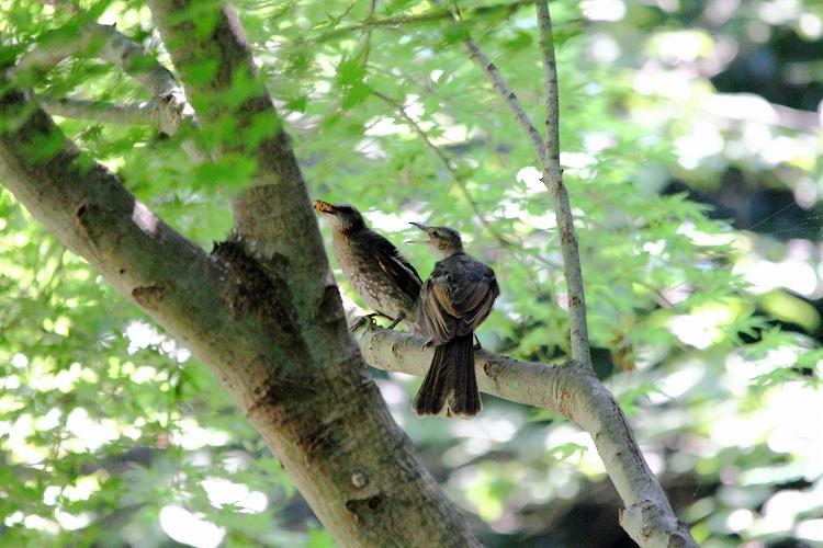 幼鳥が育つ08