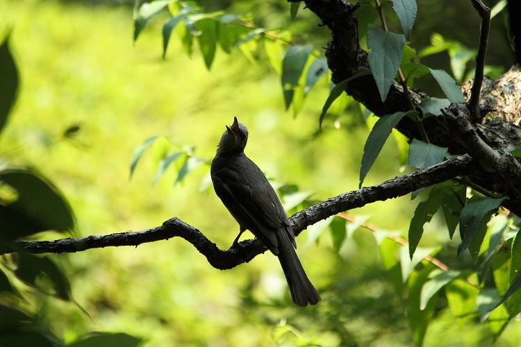 幼鳥が育つ10