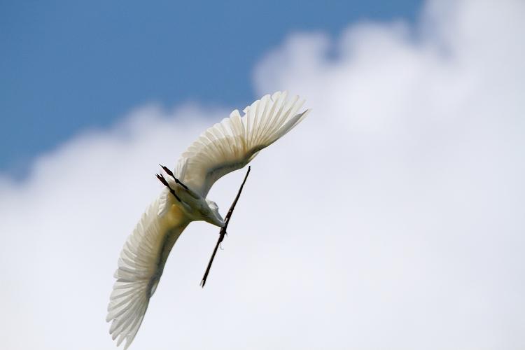 白鷺営巣11