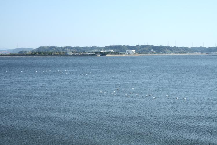 ユリカモメを探せ@浜名湖09