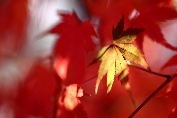 紅葉をマクロってどうなの08