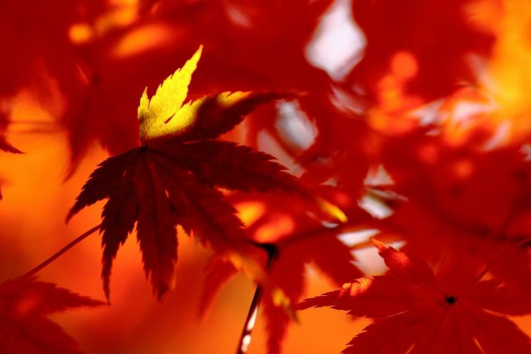 紅葉をマクロってどうなの04