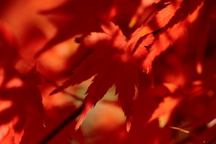 紅葉をマクロってどうなの05