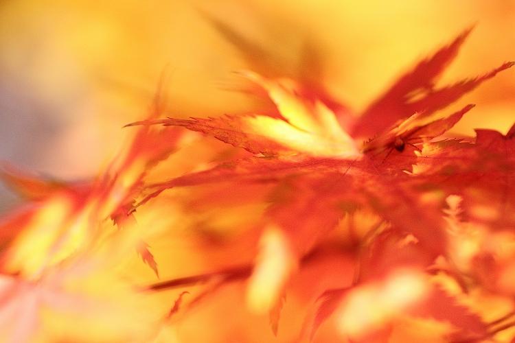 紅葉をマクロってどうなの02
