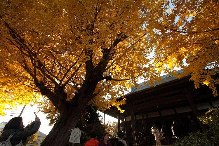 祖父江銀杏黄葉祭り04