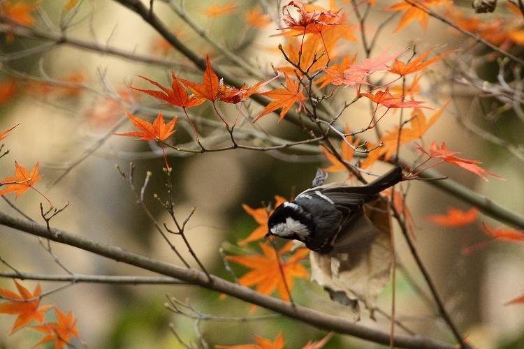紅葉よりも野鳥08
