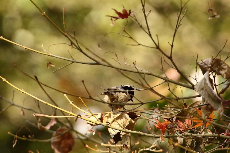 紅葉よりも野鳥09