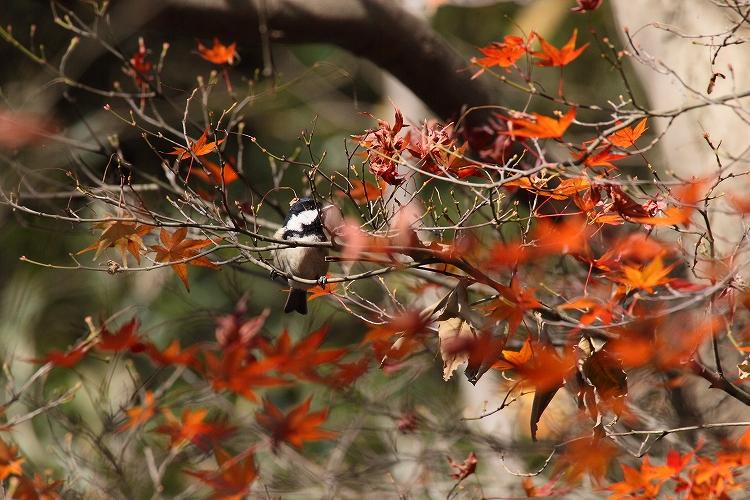 紅葉よりも野鳥12
