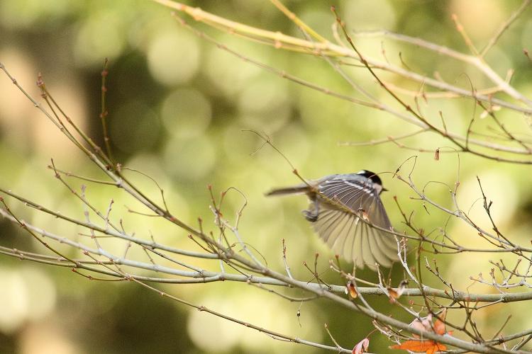 紅葉よりも野鳥11