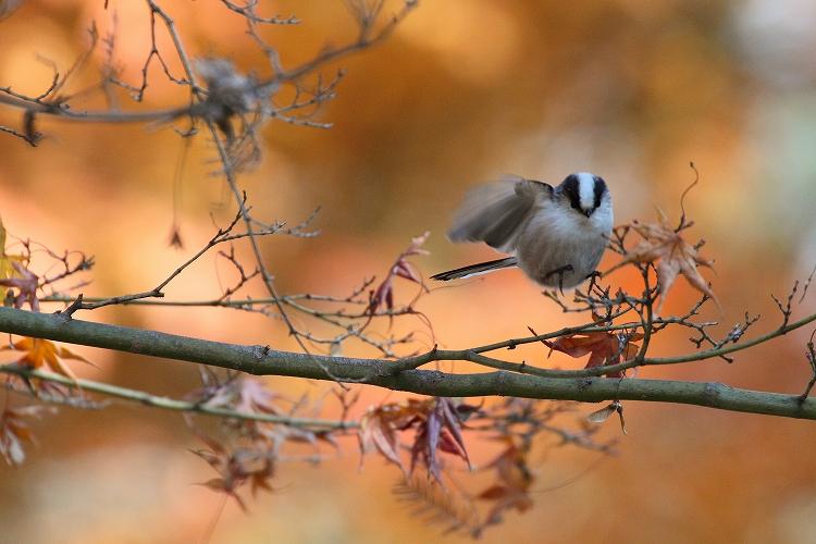 紅葉よりも野鳥04