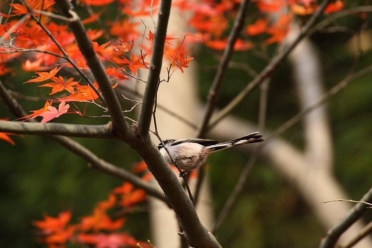 紅葉よりも野鳥06