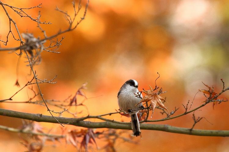 紅葉よりも野鳥05